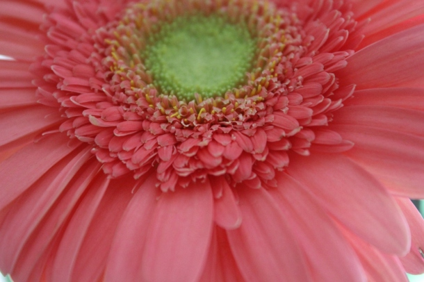 Gerbera, up close.